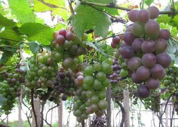 【水果種植創業】葡萄的栽種創業前景分析