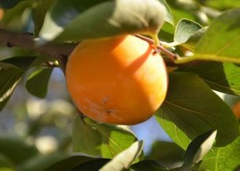 柿子樹栽種方法介紹