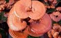 靈芝栽植種養技術-靈芝高產種植方法