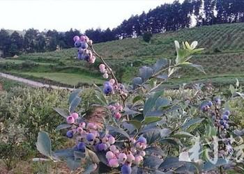 貴州:麻江藍莓農家樂圖示簡介