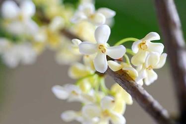 花木专题:桂花产地及其扦插方法