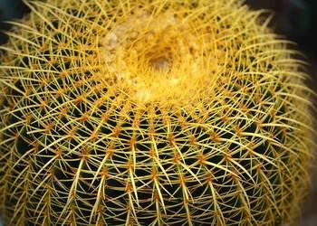 花卉苗木:仙人球防輻射嗎?