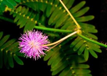花木科普知識:含羞草有毒嗎?