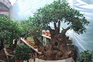 桂花树盆景的修剪方法(阳台种养)