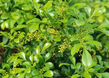花木專題:米蘭花的栽種技術方法