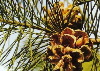 园艺与农技:白皮松的栽培种养技术