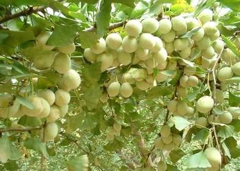 花卉苗木技术:银杏树栽培种养技术