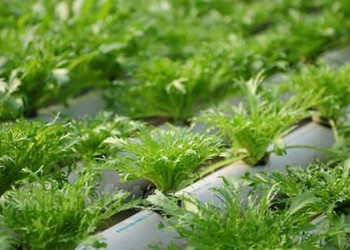 常見的無土栽植的植物有哪些?(農科知識)