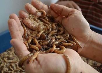 黄粉虫可以食用吗?其食用价值或营养如何?