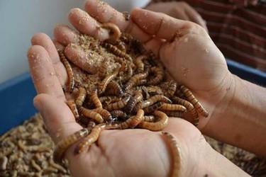 黃粉蟲可以食用嗎?其食用價值或營養如何?