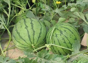 西瓜的食用功效与作用(健康饮食知识)