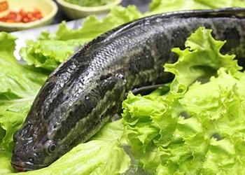 水產品:黑魚的營養價值介紹(飲食養生)
