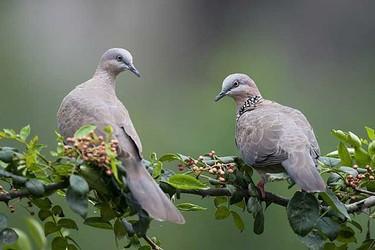 斑鳩的營養價值(特種養殖農產)