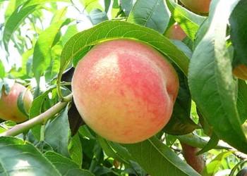 (膳食知識)孕婦能食用桃子嗎?