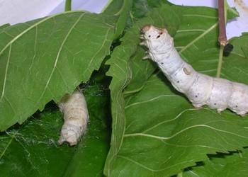 养蚕技术:蚕的人工饲养管理方法