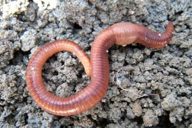 (特种养殖)农村沼渣如何饲养蚯蚓?