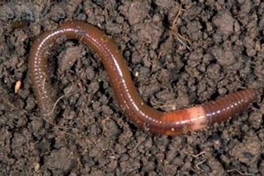 視頻:蚯蚓特種養殖過程中,管理細心程度決定效益高低