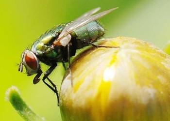 (特养创业项目)苍蝇饲养技术