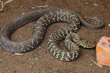 特种养殖创业:大王蛇的饲养技术