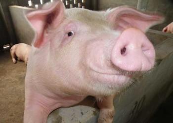 養豬技術:豬場五分之一母豬不孕的四大原因分析