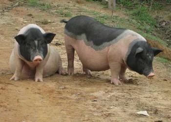 后備母豬飼養管理的措施手段(養豬技術)