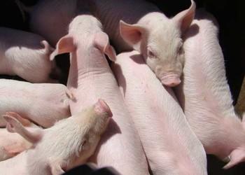 (養家畜)豬瘟的癥狀及防治措施