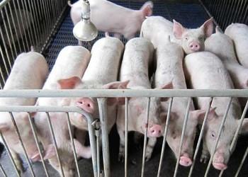 母豬定位欄的安裝(家畜養殖技術)