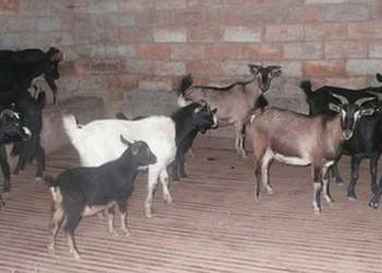 (養羊)羊喂養飼養場消毒技術
