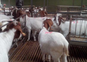 (養羊)波爾雜交肉羊喂養飼養技術