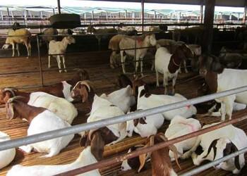 """羊業良種""""小尾寒羊""""的喂養飼養技術"""