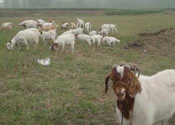 圈养杜泊羊喂养饲养效益(养羊知识)