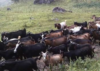 养羊专题:我国有哪些黑山羊品种?