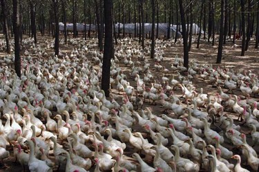 專家答疑解惑:蛋鴨飼養技術與管理要點