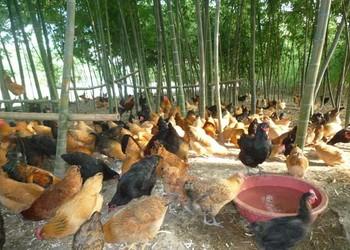 蛋雞飼養喂養成本和利潤(家禽農技)