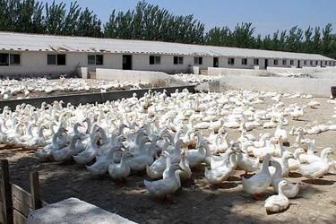 蛋鸭养殖创业的管理要点【视频】附1个养鸭创业故事