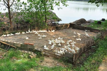 農村大哥在山里養鴨,這樣養殖準沒錯,了解后我立馬心動了