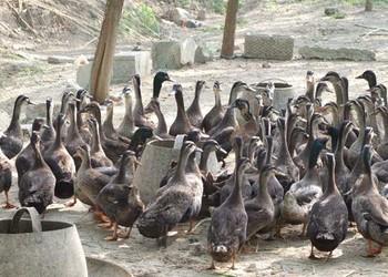 养鸭:鸭的饲喂控制及其注意事项