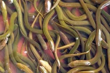 早春黃鱔不吃食,生長緩慢:如何促進黃鱔早開食?