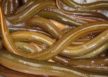 黄鳝池塘生态喂养饲养技术(养黄鳝)