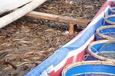 養黃鱔:野生黃鱔種苗的采集與馴養技術