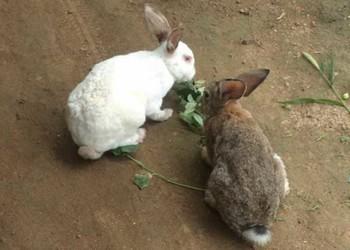 兔子飼養飼喂注意事項(養兔專題)