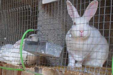 兔子初次喂養飼養的注意事項(養兔專題)