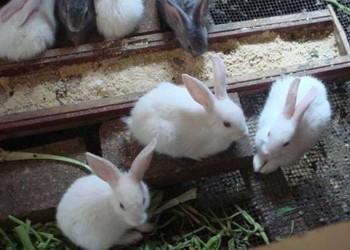冬季獺兔喂養飼養注意事項(養兔專題)