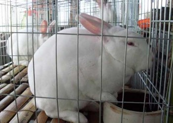 家兔如何提高生長速度?(養兔專題)