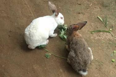 兔繁育專題:肉兔配種的關鍵技術