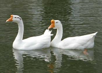 家禽養殖知識:雛鵝雌雄如何鑒別?