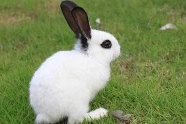 """珍貴皮毛品種""""獺兔""""的飼養成本和利潤估算"""