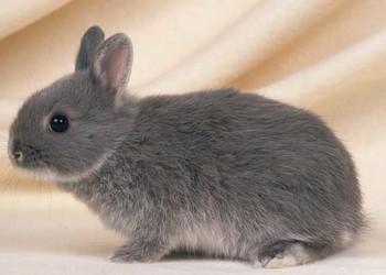 野兔人工繁育飼養技術[視頻]