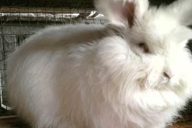 長毛兔品種及高效飼養技術[視頻]