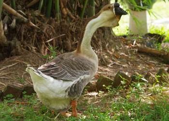 冬春養好小鵝的幾個關鍵措施(家禽科技)